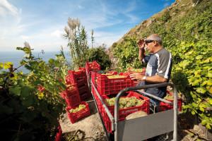 Rccolta dell'va nei vitigni di Casa d'Ambra (foto terza)