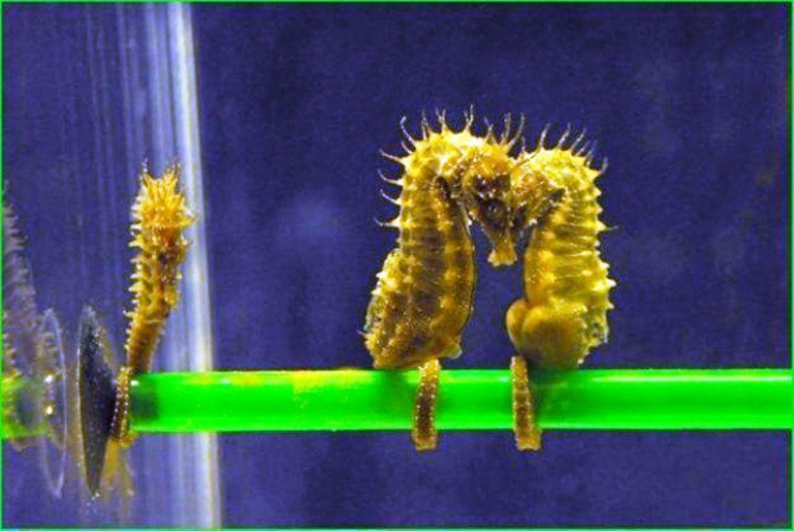Il cavalluccio marino un simbolo per i pescatori isolani for Immagini cavalluccio marino
