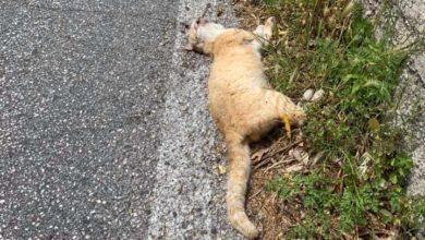 Photo of Strade killer, a Ischia è mattanza di animali domestici