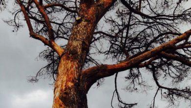 Photo of Via Fasolara, alberi a rischio caduta